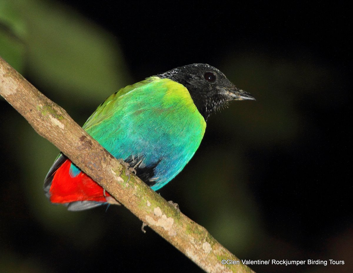 Rockjumper's 2011 Papua New Guinea Birding Highlights