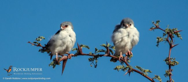 Pygmy Falcons by Gareth Robbins