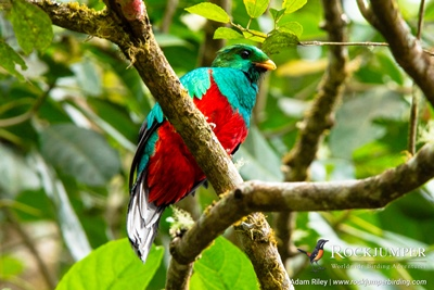 White-tipped Quetzal by Adam Riley