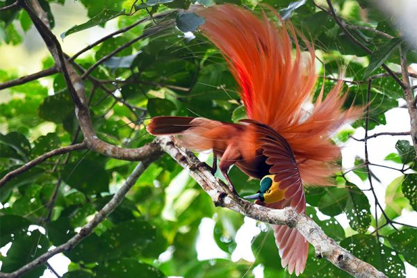 Raggiana Bird of Paradise by Rich Lindie