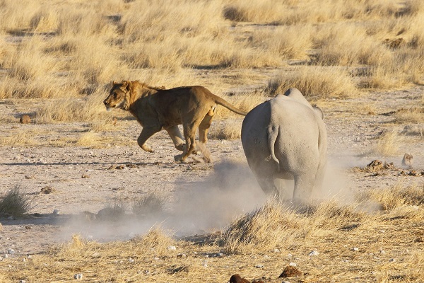 Rhinoceros Black chasing Lion Etosha Namibia AR