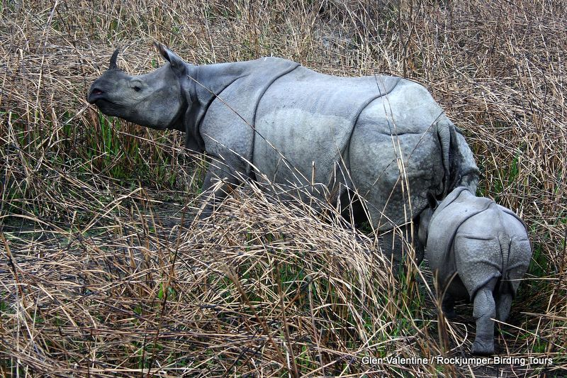 From one specific hide in Kaziranga, we saw over 50 of these magnificent beasts, including several mothers and calves