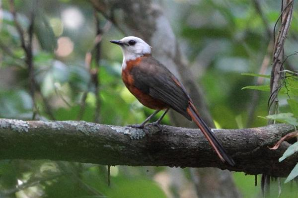 White-headed Robin-Chat photographed on our 2012 tour by Jonathan Rossouw