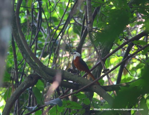 White-headed Robin Chat – Keith Valentine