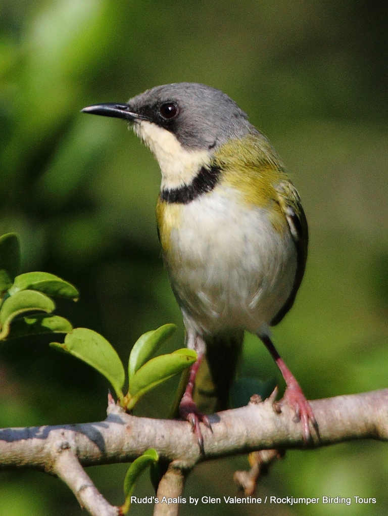 Rudd's Apalis is one of South Africa's very special birds and has an extremely limited range