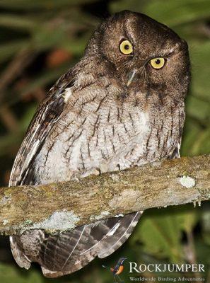 Santa Marta Screech Owl by Dušan Brinkhuizen