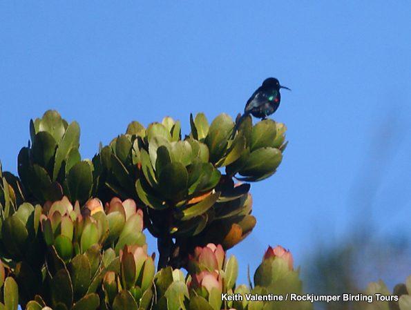 Scarlet-tufted Sunbird by Keith Valentine