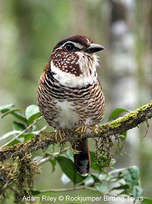 Short-legged Ground Roller is a bird that often requires much time and effort.