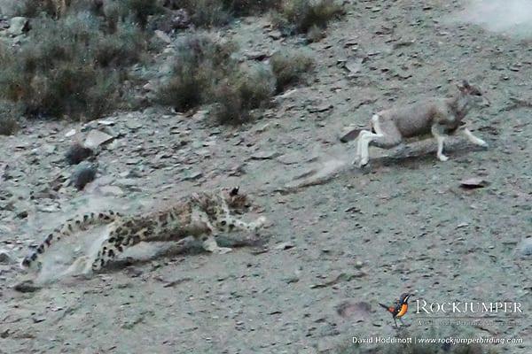 Snow Leopard making a kill