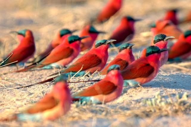 Southern Carmine Bee-eaters by Andrew Stainthorpe