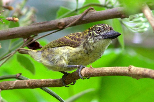 The Speckled Tinkerbird is a rather aberrant rainforest species with atypical plumage, a massive bill and an unusual call that reminds one of a Common Quail