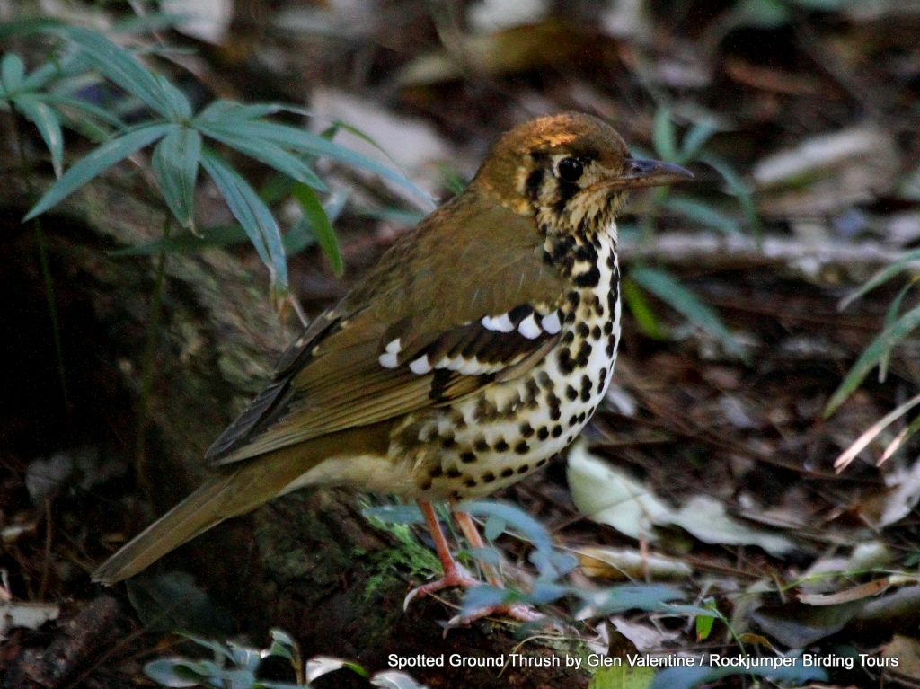 Spotted Ground Thrush occurs in a tiny belt of coastal forest in South Africa and also very patchily in a few other African countries