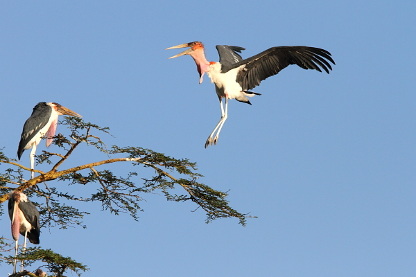 A Marabou Stork arriving at its roost tree, Serengeti, Tanzania by Adam Riley