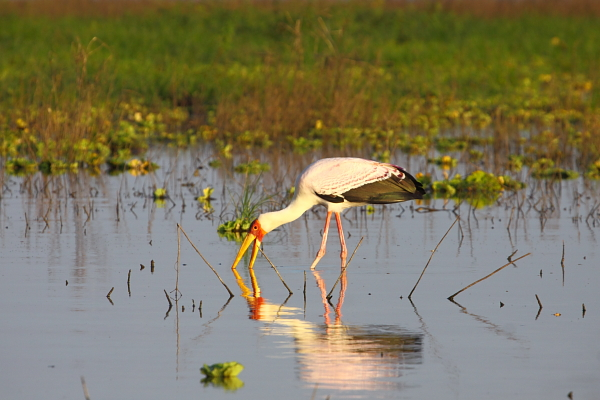 Yellow-billed Stork in typical feeding posture, Selous, Tanzania by Adam Riley