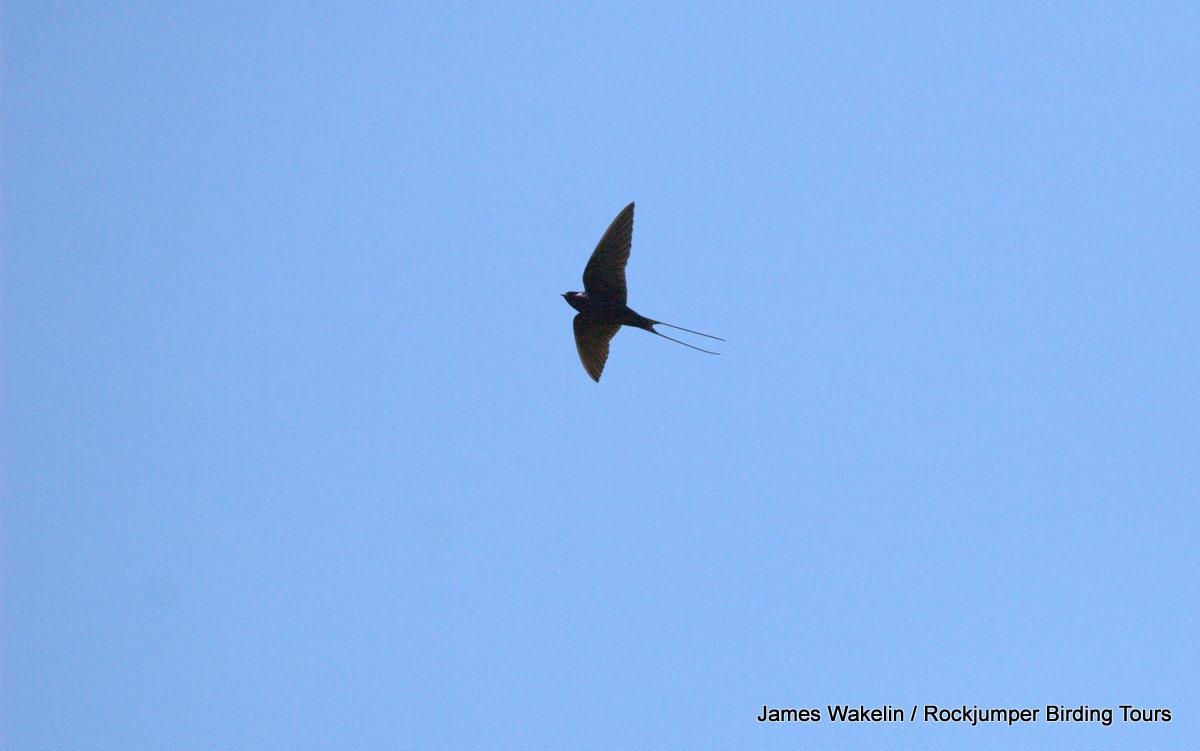 Blue Swallow in flight by James Wakelin
