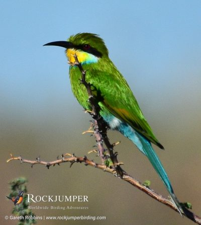 Swallow-tailed Bee-eater by Gareth Robbins