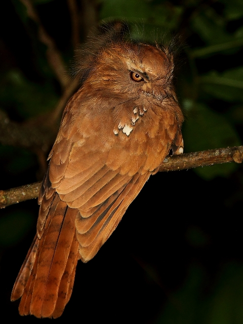 The elusive and extremely sought-after Hodgson's Frogmouth