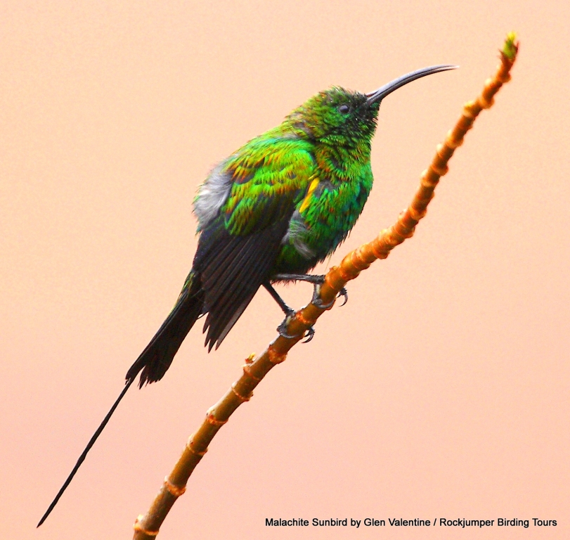 The exquisite male Malachite Sunbird taken in the West Coast National Park in the Western Cape