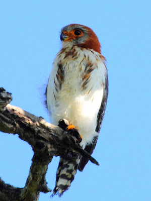 The scarce and localized White-rumped Falcon (female)