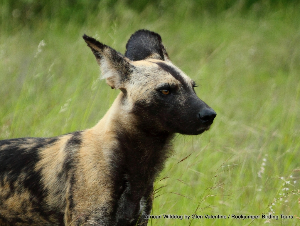 The very rarely seen African Wilddog is one of the continents rarest mammals, we were extremely fortunate to find a pack of these endearing animals in the Kruger National Park