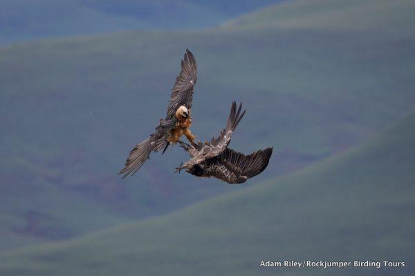 Lammergeier or Bearded Vulture by Adam Riley