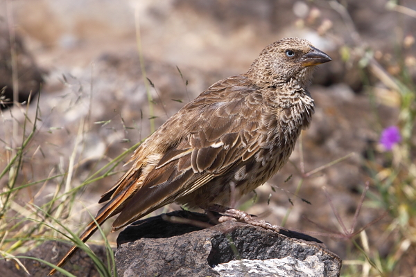 The unique, blue-eyed Rufous-tailed Weaver forms an ancient link between weavers and sparrows and is also endemic to the Serengeti ecosystem
