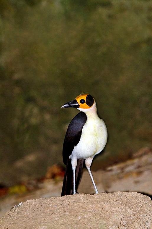 White-necked (Yellow-headed) Rockfowl