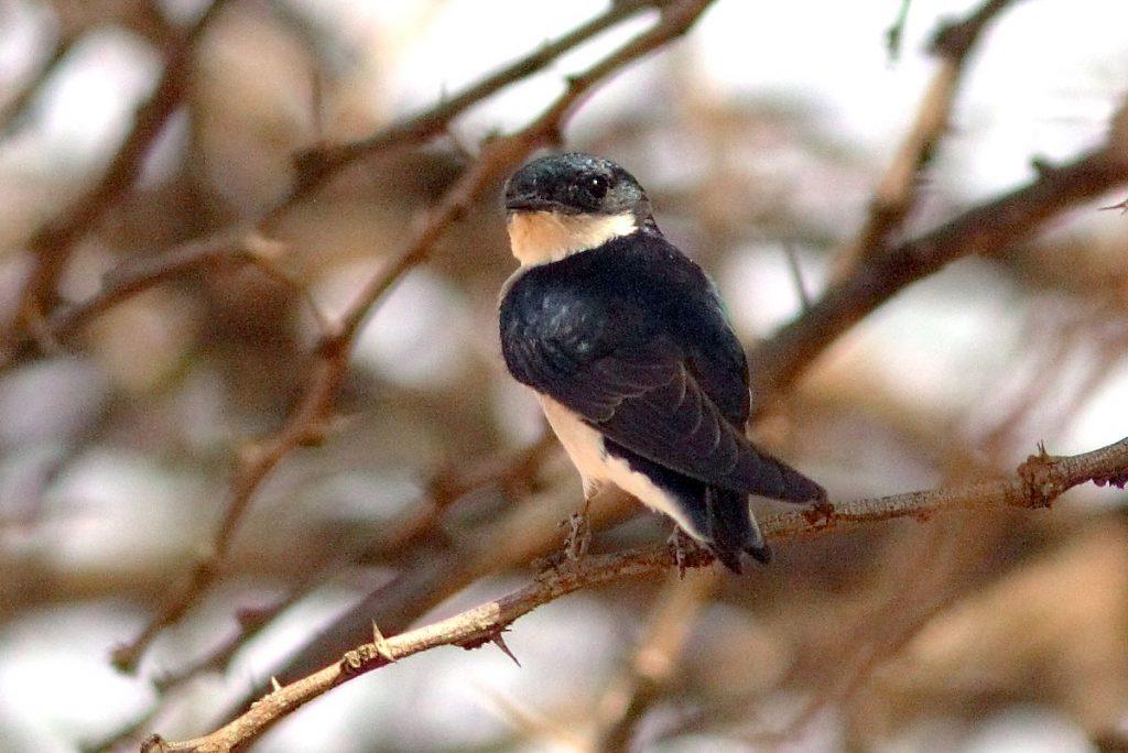 White-tailed Swallow - ML