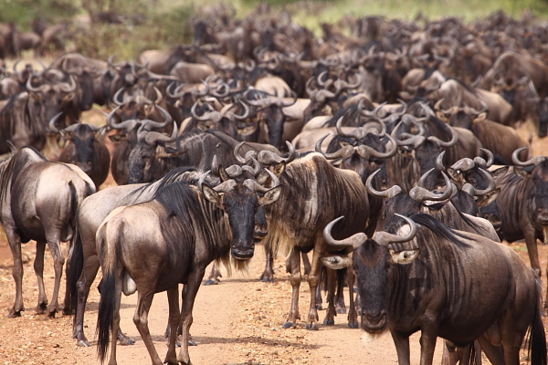 Approximately 1,500,000 Blue Wildebeest move through the Serengeti ecosystem on their annual migration