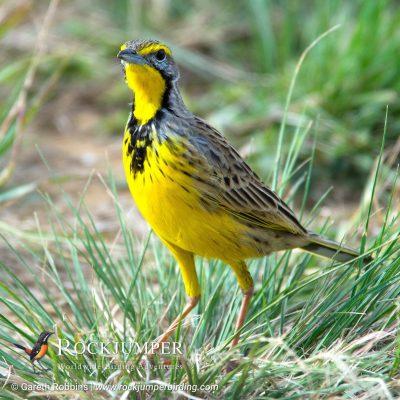 Yellow-throated Longclaw by Gareth Robbins
