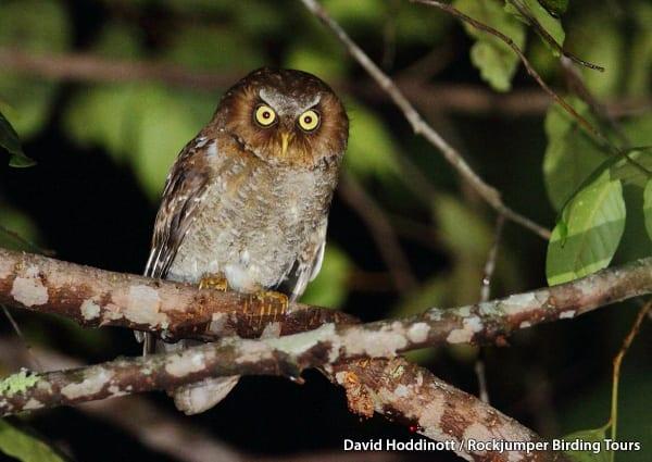 Flores Scops Owl by David Hoddinott