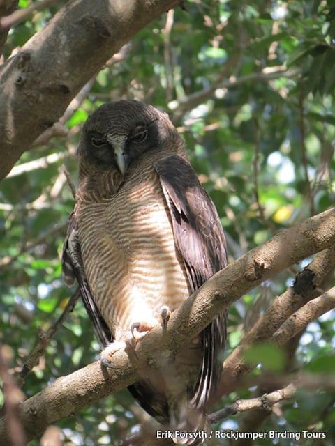 Rufous Owl by Erik Forsyth