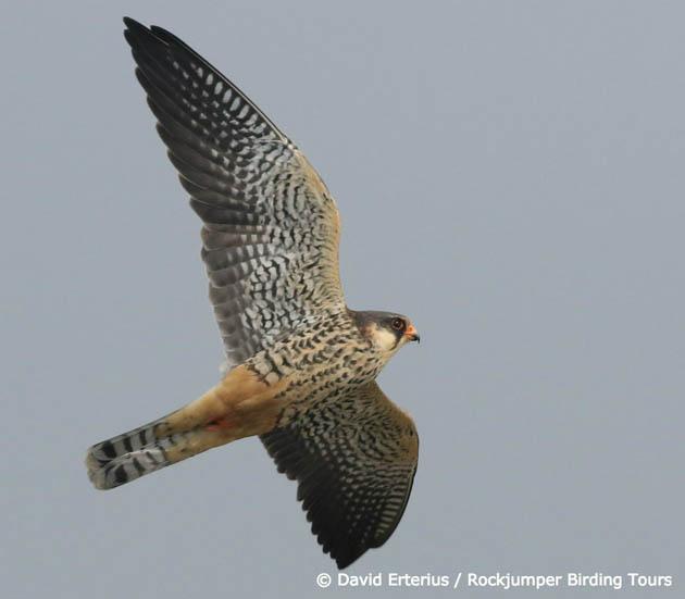 amur falcon migration
