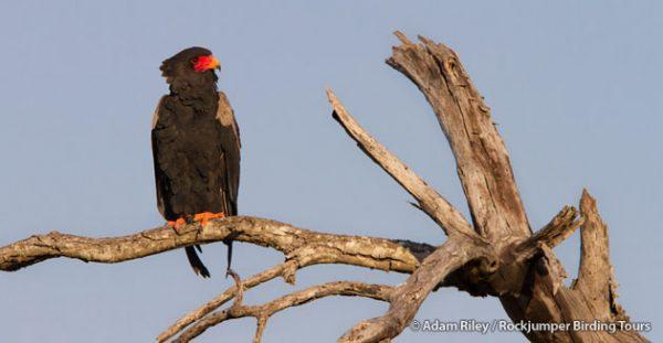 The Bateleur, an elegant African raptor famed for its rocking flight