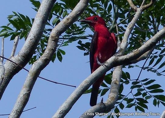 Crimson Fruitcrow by Chris Sharpe