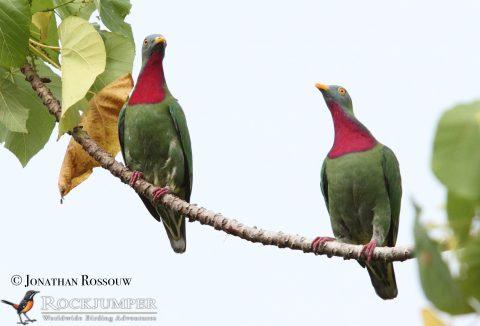 Claret-breasted Fruit Doves