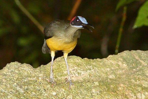 Grey-necked or Red-headed Picathartes in Korup National Park, Cameroon. Photo by Markus Lilje