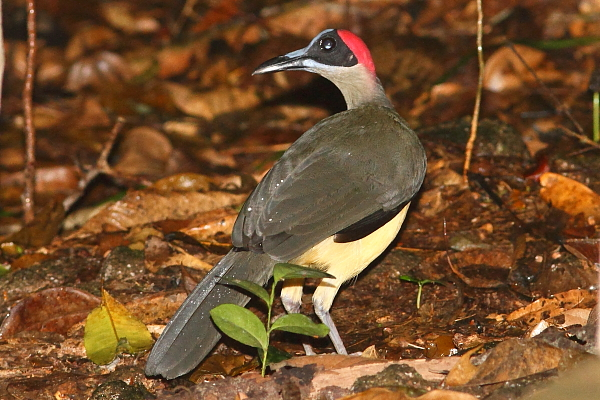 Grey-necked Picathartes foraging in leaf-litter on the forest floor in Korup National Park, Cameroon. Photo by Markus Lilje