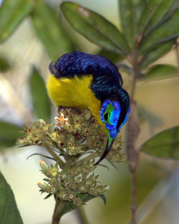 The incredibly beautiful Yellow-bellied Sunbird-Asity is another Malagasy species that was considered to be lost and has now been rediscovered. Photo by James Wakelin