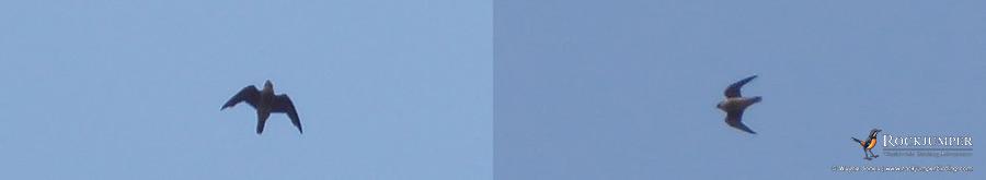 Taita Falcons by Wayne Jones