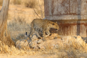 Leopard wildlife tours
