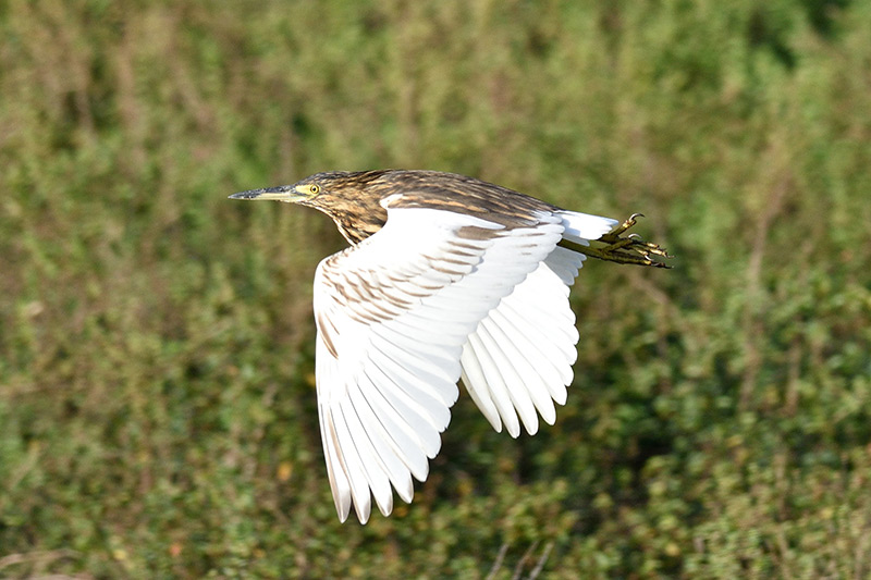The Malagasy Pond Heron in flight by Clayton Burne
