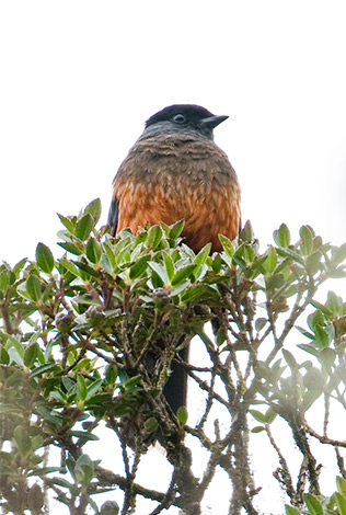 Chestnut-bellied Cotinga by Dušan Brinkhuizen