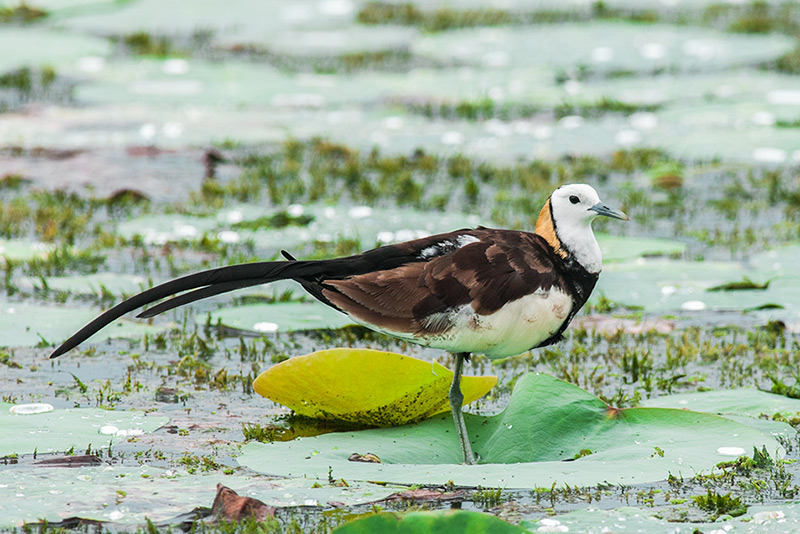 Pheasant-tailed Jacana by Rich Lindie