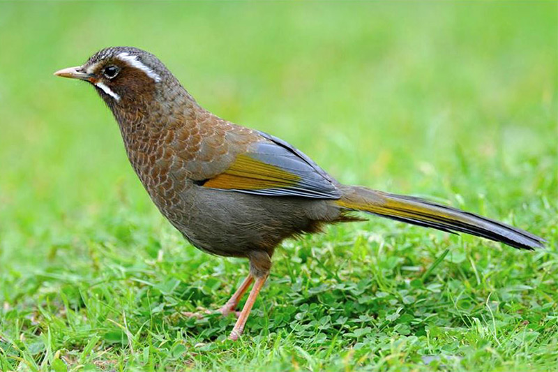 White-whiskered Laughingthrush by Rich Lindie