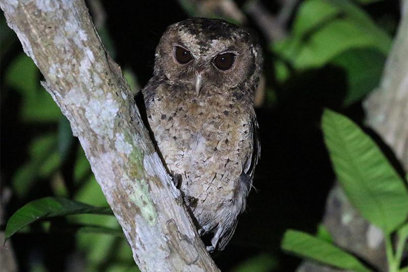 Sunda Scops Owl by Nigel Redman