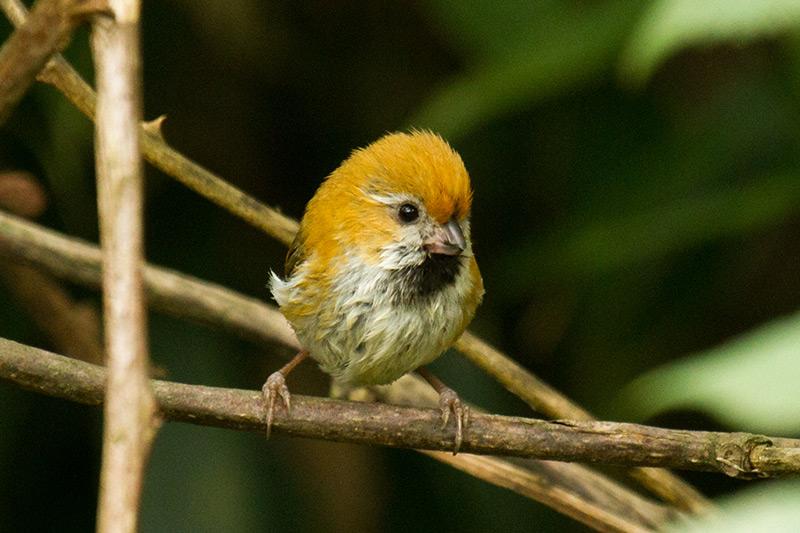 Golden Parrotbill by Daniel Keith Danckwerts