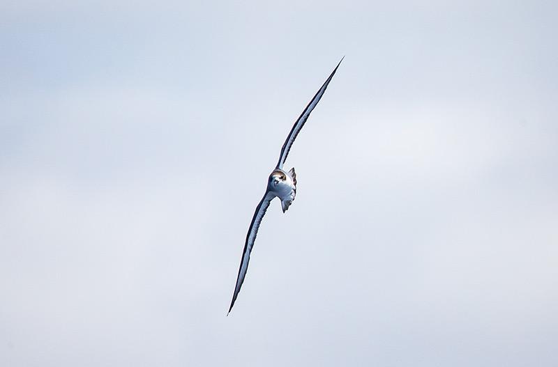 Head-on shot of Barau's Petrel by Adam Riley