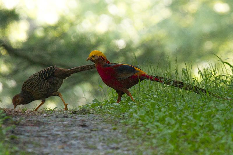 Golden Pheasants by Daniel Keith Danckwerts