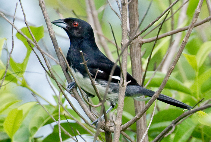 Black-and-white Tanager by Dušan Brinkhuizen